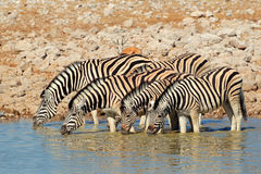 Plains Zebras drinking water Stock Image