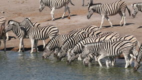 Plains zebras drinking water stock video footage