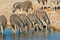 Plains zebras drinking water Stock Photos