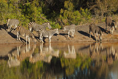 Plains Zebras drinking water Royalty Free Stock Photo