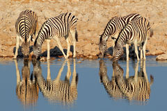 Plains Zebras drinking water, Etosha Royalty Free Stock Photos