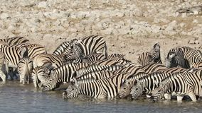 Plains zebras drinking water stock footage