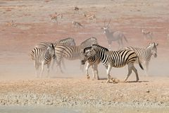 Plains zebras in dust Royalty Free Stock Photos