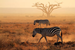 Plains zebras in dust Stock Photos