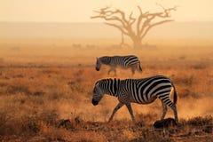 Plains zebras in dust Stock Photos