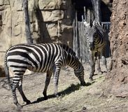 Plains Zebras. This is an early Spring picture of two Plains Zebras in their compound at the Lincoln Park Zoo located in Chicago, Illinois in Cook County Royalty Free Stock Photos