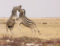 Pair of plains zebras viciously fighting royalty free stock photo