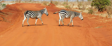 Plains zebras (Equus burchellii) Royalty Free Stock Photography