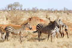 Plains zebras (Equus burchellii) Stock Images