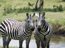 Plains zebras (Equus burchellii) Royalty Free Stock Images