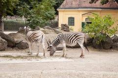 Plains Zebras Equus quagga at Vienna Zoo. Vienna / Austria  - July 22nd 2014: photo of two plains Zebras Equus quagga at Vienna Zoo Royalty Free Stock Image
