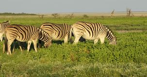 Plains zebras on Etosha plains stock video footage