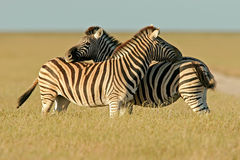 Plains Zebras, Etosha National Park, Namibia Royalty Free Stock Photography