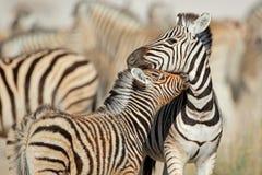 Plains zebras - Etosha National Park Stock Images