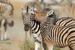 Plains zebras - Etosha National Park Stock Photography