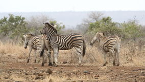 Plains Zebras fighting stock video