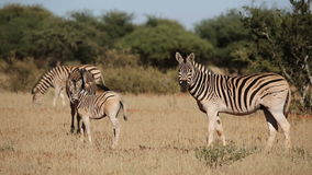 Plains Zebras and foal stock footage