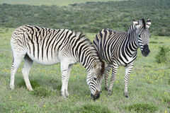 Plains Zebras foraging in Addo Elephant National Park Stock Photography