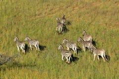 Plains zebras in grassland Royalty Free Stock Photo