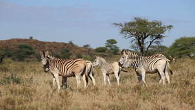 Plains Zebras grazing Royalty Free Stock Photos