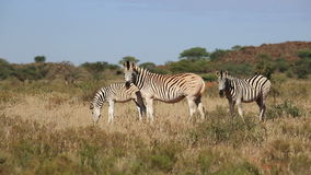 Plains Zebras grazing stock video