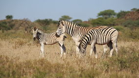 Plains Zebras grazing Stock Photo