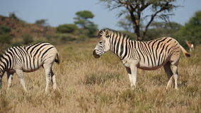 Plains Zebras grazing Royalty Free Stock Images