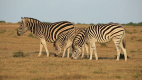 Plains Zebras grazing stock footage