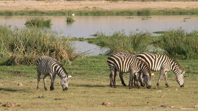 Plains Zebras grazing stock video footage