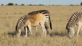 Plains zebras grazing in grassland stock footage