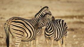 Plains Zebras grooming. Two plains (Burchell's) Zebras (Equus burchelli) grooming each other, Etosha National Park, Namibia stock video