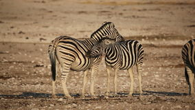 Plains Zebras grooming. Two plains (Burchell's) Zebras (Equus burchelli) grooming each other, Etosha National Park, Namibia stock footage