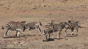 Plains zebras interacting stock video footage