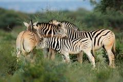 Plains zebras in natural habitat Stock Photos