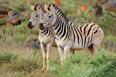 Plains zebras in natural habitat Royalty Free Stock Image