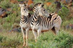 Plains zebras in natural habitat Stock Images