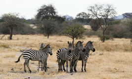 5 Plains Zebras nervously await. Three Plains Zebras standing at alert while 2 Plains Zebras standing nearby are having a fight Royalty Free Stock Photography