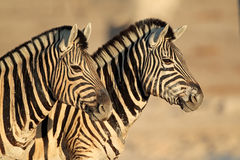 Plains Zebras portrait Royalty Free Stock Images