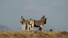 Plains Zebras stock footage