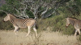Plains Zebras walking stock video footage
