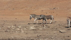 Plains zebras walking stock footage