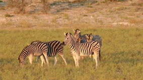 Plains Zebras walking