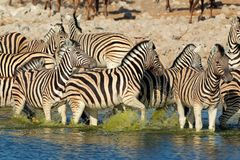 Plains Zebras in water Royalty Free Stock Photo