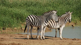 Plains Zebras at waterhole Stock Image