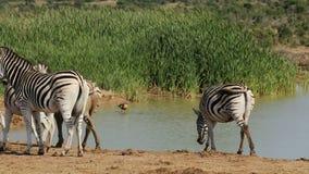 Plains Zebras at waterhole stock footage