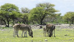 Plains zebras and wild flowers - Etosha stock video footage