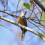 Plaintive Cuckoo Stock Images