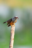 Plaintive Cuckoo bird Royalty Free Stock Photography