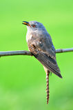 Plaintive Cuckoo bird. Eating worm and siiting on branch whit green background from Thailand Stock Photo