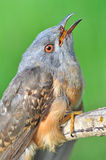 Plaintive Cuckoo bird Royalty Free Stock Image